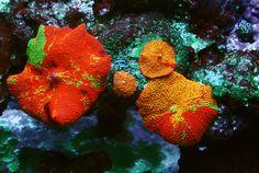 Jawbreaker mushrooms - Page 2