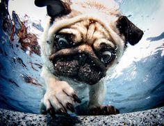 Underwater Pug