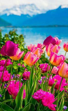 tulips near a lake an mountains