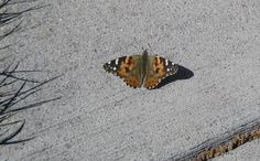 Painted Lady butterfly warming itself on the sidewalk on an unusually warm Easter Sunday. It's not uncommon for Southeastern WY. to be covered in several inches of snow this time of year.