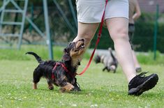 Dog obedience training is one of the most important things you can do for your dog. If your dog is young, do not wait any longer to train them! Dog Training Classes, Training Your Puppy, Dog Training Tips, Potty Training, Crate Training, Training Online, Training Videos, Training Courses, Obedience School For Dogs