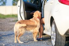 Ask A Vet: How Do I Pick The Best Seat Belt For My Dog?