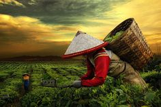 harvest tea by Teuku Jody  Zulkarnaen, via 500px