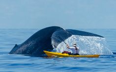 A kayaker paddles close to a blue whale in the Indian Ocean off the coast of Sri Lanka Picture: Picture Adventure Expeditions / Barcroft Media
