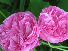 Modern Country Style: Roses: Gertrude Jekyll