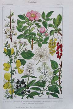 VORHÖLZER 1916 Original Farbdruck Antique Print Lithographie Heckenrose Weißdorn