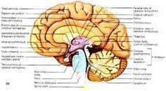 Parts Of The Brain Sagittal Diagram - DIY Enthusiasts Wiring Diagrams •