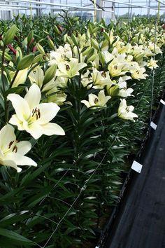 Name: Courier #bot #flowerbulbs #lilium #flower #bulbs #bulbos #lirio #lirios #variedades #bubos #holanda #bloembollen #bloemen #bollen #bulbs #exporter #exporteur #floriculture #flowers #gladioli #gladiool #horticulture #iris #lelie #lily #preparation #prepareren #irissen #Andijk #collection #keurmerk #oriental #asiatic #la #ot #holland