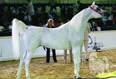 "Loubna  (Imperial Imdal x Imperial Kalatifa by Imperial Al Kamar)  bred by Ariela Arabians - owned by Ajman Stud  This beautiful straight Egyptian mare hails from the ""Land of Chen Kedar"" and has won many wonderful titles including World Champion Mare for her longtime owners, Ajman Stud. She has given Ajman two beautiful daughters by Al Ayad and WH Justice, as well."