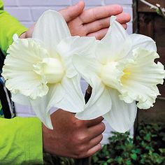 Breck's Mount Hood Trumpet Daffodil Bulbs - The Home Depot - Audobon Workshop Mount Hood Trumpet Daffodil Narcissus Bulbs - Narcissus Bulbs, Daffodil Bulbs, Bulb Flowers, Daffodils, Daffodil Flowers, Cactus Flower, Summer Bulbs, Spring Bulbs, Spring Blooms