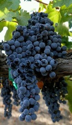 Cabernet Sauvignon grapes ~ France / La France
