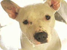 Mesa, AZ - American Pit Bull Terrier Mix. Meet A3842224, a dog for adoption. http://www.adoptapet.com/pet/16914585-mesa-arizona-american-pit-bull-terrier-mix