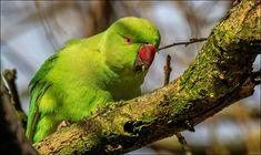 Halsband Parkiet  (Van vroegevogels)