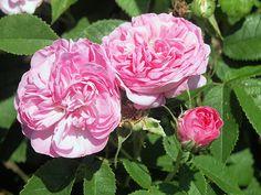 La Ville de Bruxelles, Rosa damascena-hybrid
