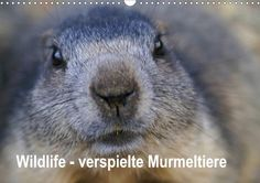 Wildlife - Verspielte Murmeltiere - CALVENDO Kalender von Susan Michel - www.calvendo.de/galerie/wildlife-verspielte-murmeltiere/ - #Kalender #Murmeltiere #Natur #Tiere #Calvendo