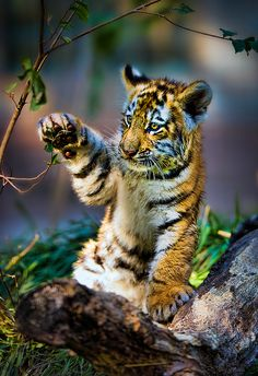 ~~Practice Swat! ~ tiger cub by Todd Ryburn~~