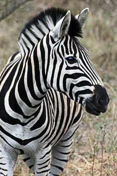 Zebras' stripes come in different patterns, unique to each individual.They are generally social animals that live in small harems to large herds. Unlike their closest relatives, horses and asses, zebras have never been truly domesticated