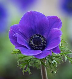 Buy Anemone coronaria 'Jerusalem Blue' from Sarah Raven: This excelled in our windowbox trial, looking good for months. With this variety of anemone, the flowers just keep coming. Bulb Flowers, Colorful Flowers, Beautiful Flowers, Purple Flower Photos, Blue And Purple Flowers, Exotic Flowers, Yellow Roses, Fresh Flowers, Pink Roses