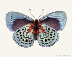 Charles Darwin Butterfly Print by Allison Trentelman | rockytopstudio.com