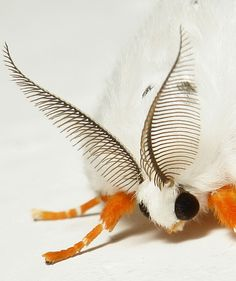 Female Tussock Moth (Lymantriinae, Erebidae), China