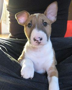 I want one! English Bull Terrier