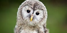 Buy Close up of a baby Tawny Owl (Strix aluco) by lightpoet on PhotoDune. Close up of a baby Tawny Owl (Strix aluco) Baby Animal Names, Baby Animals, Cute Animals, Funny Animals, Owl Photos, Owl Pictures, Funny Pictures, Male And Female Animals, Bird Puns
