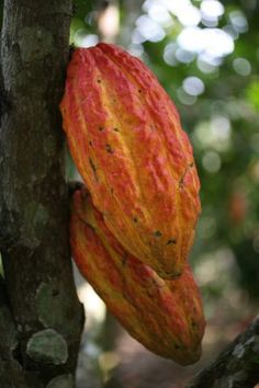 The story of Trinitarios - Trinidad and Tobago Newsday Plant Classification, Theobroma Cacao, Replant, Fruits And Veggies, Vegetables, Trinidad And Tobago, Art Pictures, Cocoa, Flowers