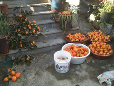 남은 감나무는 나중에... 어머닌 이곳저곳 나눠주시고.. 지나가는 분들.. 아이들.. 너나할 것 없이 주시기만 하신다...