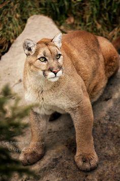 WildCat - Puma