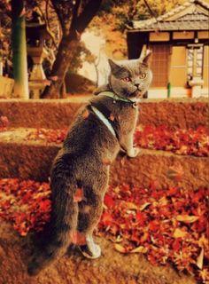 今日もいっぱい楽しいことしたよ~、満足 ♪ ෆ̈ Awwww♪ What a great day we have had today! I feel satisfied! My cat won't run away, so we can take walks together. うちの子USA(うさ)は、お散歩大好き💕 Gifu, Autumn Day, Cat Breeds, Fall Crafts, Autumn Crafts, Cat, Spring Crafts, Cats