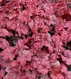 Heuchera 'Grape Soda'Brighten the darker corners of your landscape with 'Grape Soda' heuchera. This bubbly newcomer produces light purple leaves in the spring that gradually turn darker purple with silver highlights as the season progresses. 'Grape Soda' is also a heavy bloomer, sending up spike after spike of light purple flowers during the spring and summer.