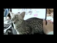 Egyptian Mau vocalizations - the 'mreh' - YouTube