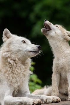 First Call - Loup arctique / Arctic wolf