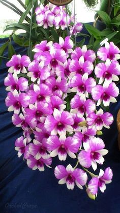 Flower Seeds, Potted Seed In Dendrobium Bonsai Rare Orchid Plants Mixed 100 Pcs for sale online Unusual Flowers, All Flowers, Flowers Nature, Amazing Flowers, Purple Flowers, Beautiful Flowers, White Flowers, Purple Orchids, Orchid Flowers