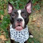 GEORGIA – A1088930 **SAFER : AVERAGE HOME** FEMALE, BLACK / WHITE, STAFFORDSHIRE / FRENCH BULLDOG, 10 mos STRAY – STRAY WAIT, HOLD FOR ID Reason ABANDON Intake condition UNSPECIFIED Intake Date 09/07/2016, From NY 10460, DueOut Date 09/10/2016, I came in with Group/Litter #K16-073254.