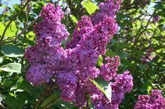 Fliederblütengelee ist so lecker - New Ideas Hydroponic Gardening, Hydroponics, Gardening Tips, Chutneys, Holiday Break, Outdoor Venues, Small Gardens, Growing Plants, Pick One