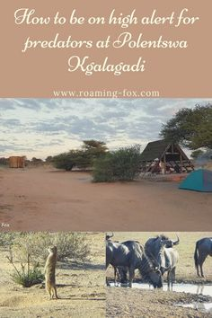 Polentswa is an unfenced camp in Botswana. Camping in an unfenced camp means you have to be on high alert for predators. West Africa, South Africa, Fox Facts, Picnic Spot, Across The Border, Camping Glamping, Game Reserve, Rest Of The World, Great View