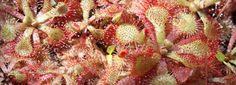 sundew plant care sheet
