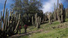 Echinopsis chiloensis (Quisco). Llega a medir hasta 8 metros en algunos casos y naturalmente es más alto que su primo Echinopsis chiloensis ssp. littoralis (Quisco costero)