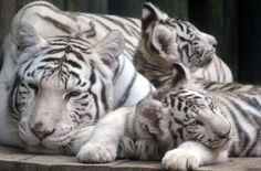 These white tiger cubs are just the cutest © Slavek Ruta/REX/Shutterstock