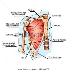 pectoralis major muscle, muscles of chest, thorax, brisket, breast, bust - didactic board of anatomy of human muscular system
