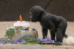 Monroe turned 1 today! See him enjoy more treats & ice cakes this weekend at 9am at the Safari Park.