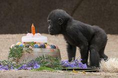 See him enjoy more treats & ice cakes this weekend at 9am at the Safari Park.