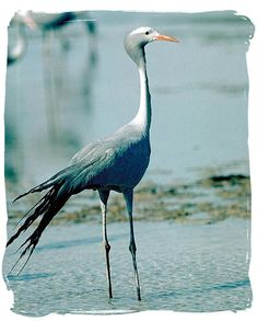 The beautiful Blue Crane, a national symbol of South Africa Animals And Pets, Cute Animals, Wild Animals, South Africa Tours, South Afrika, National Symbols, All Birds, Bird Pictures, Watercolor Bird