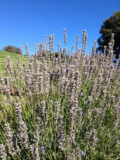 Lavender grown along the path leading to Llao Llao Hotel Bariloche Argentina #travel #nature
