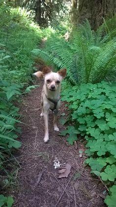 Peppi, our dog. Chihuahua + Mini fox terrier = Taco Terrier