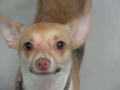 URGENT! Adopt 23462494, a lovely 1 year Dog available for adoption at Petango.com. 23462494 is a Chihuahua, Short Coat / Mix and is available at the Hillsborough County Animal Services in TAMPA, FL
