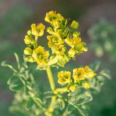 Απήγανος, ένα αρωματικό φυτό με πολλές χρήσεις   Τα Μυστικά του Κήπου Herbs, Plants, Herb, Plant, Planets, Medicinal Plants