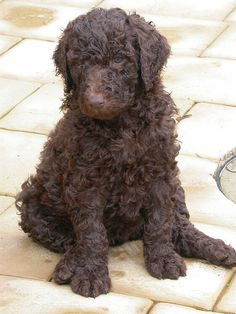 brown standard poodle & because I think they& cool. And we could share hair products 😛 Source by aworthlowry The post brown standard poodle & because I think they& cool. And we could share hair pr& appeared first on Douglas Dog Hotel. Top 10 Dog Breeds, Large Dog Breeds, Pet Dogs, Dogs And Puppies, Doggies, Baby Puppies, Moyen Poodle, Chocolate Poodle, Chocolate Labradoodle