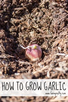 How to grow garlic | Easiest methods including what to and not to do at www.farmpretty.com